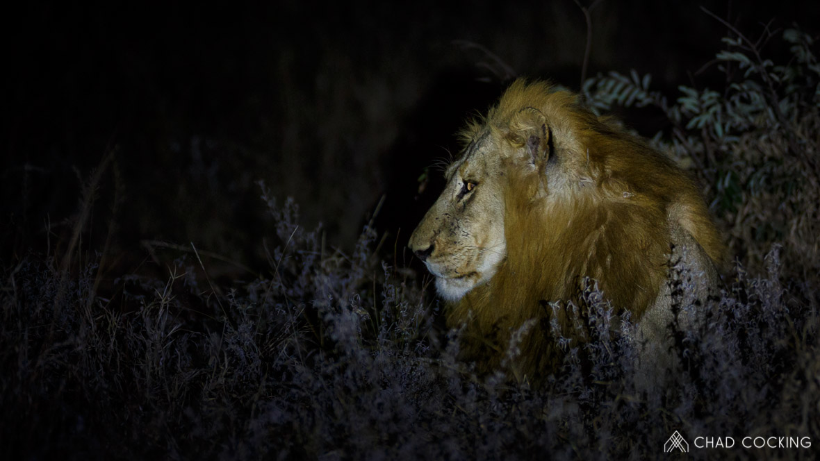 Photo credit: Chad Cocking | Portrait of a male lion at night at Tanda Tula in the Timbavati Game Reserve, South Africa.