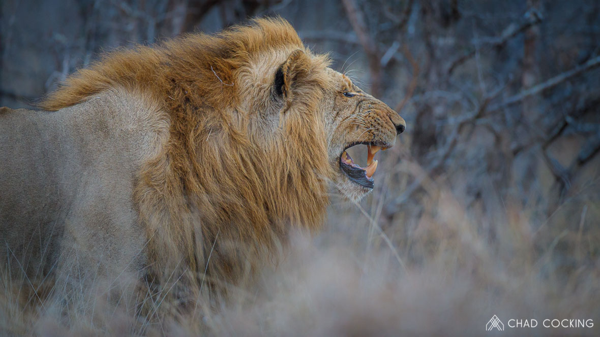 Photo credit: Chad Cocking - Male Lion at Tanda Tula in the Timbavati Game Reserve, South Africa.