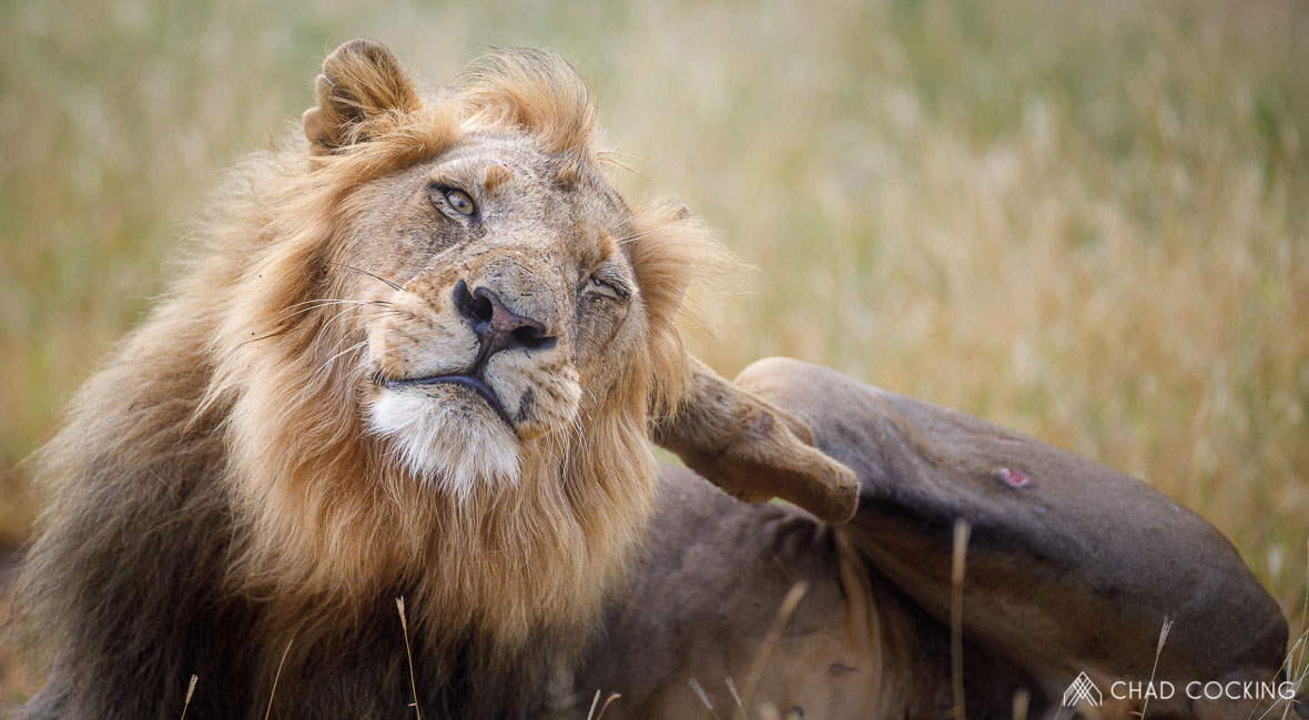 Tanda Tula - Nharhu male lion in the Greater Kruger, South Africa