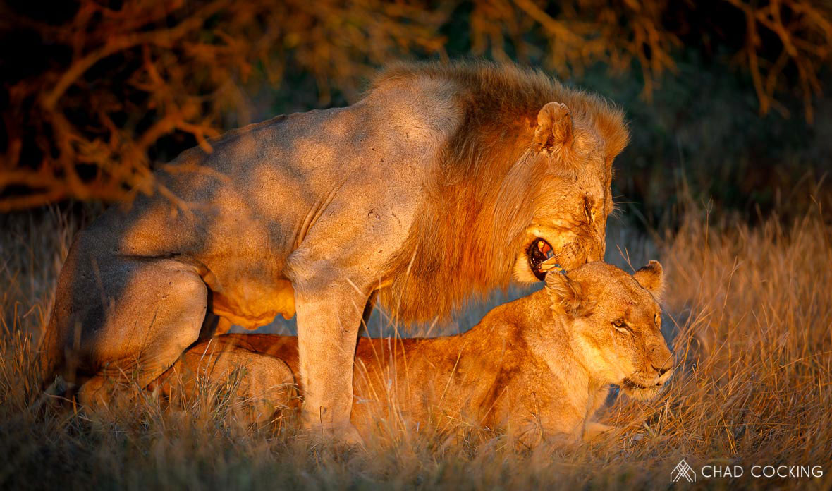 Tanda Tula - Nharhu male lion mating with River Pride lioness