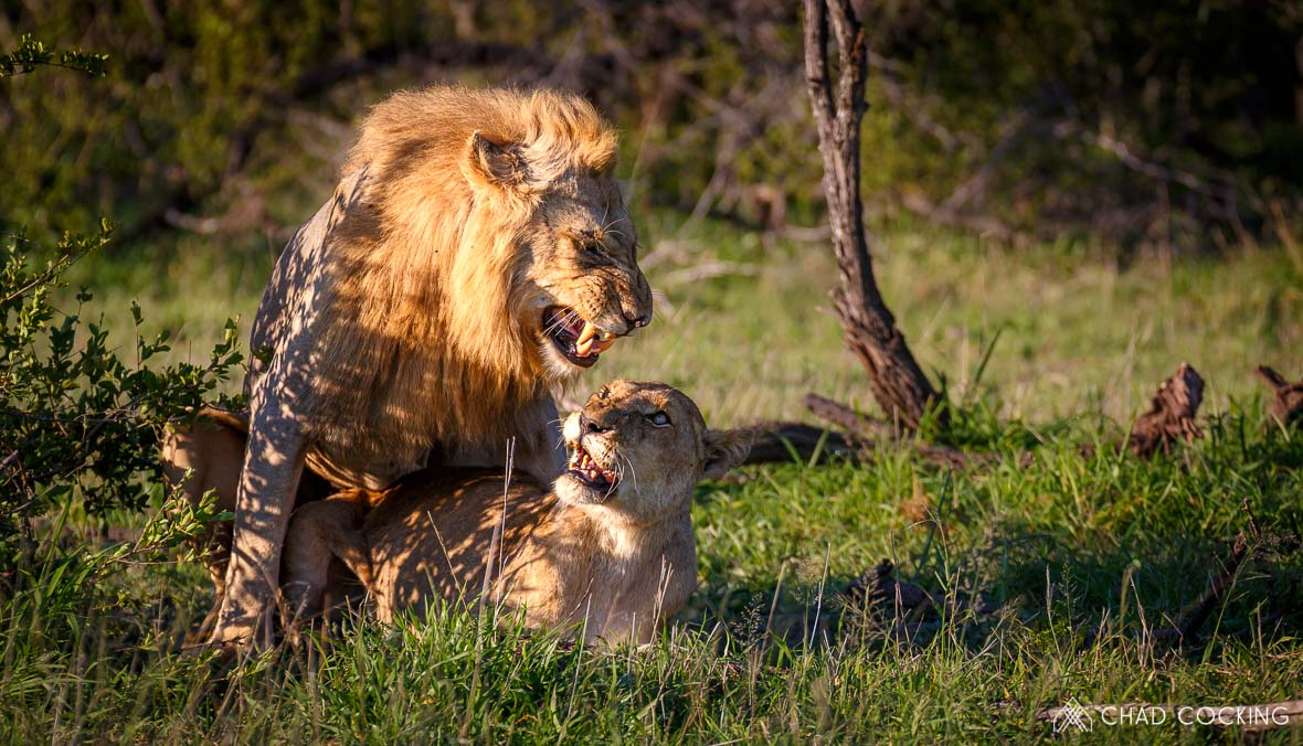 Tanda Tula - lions mating on safari in the Greater Kruger