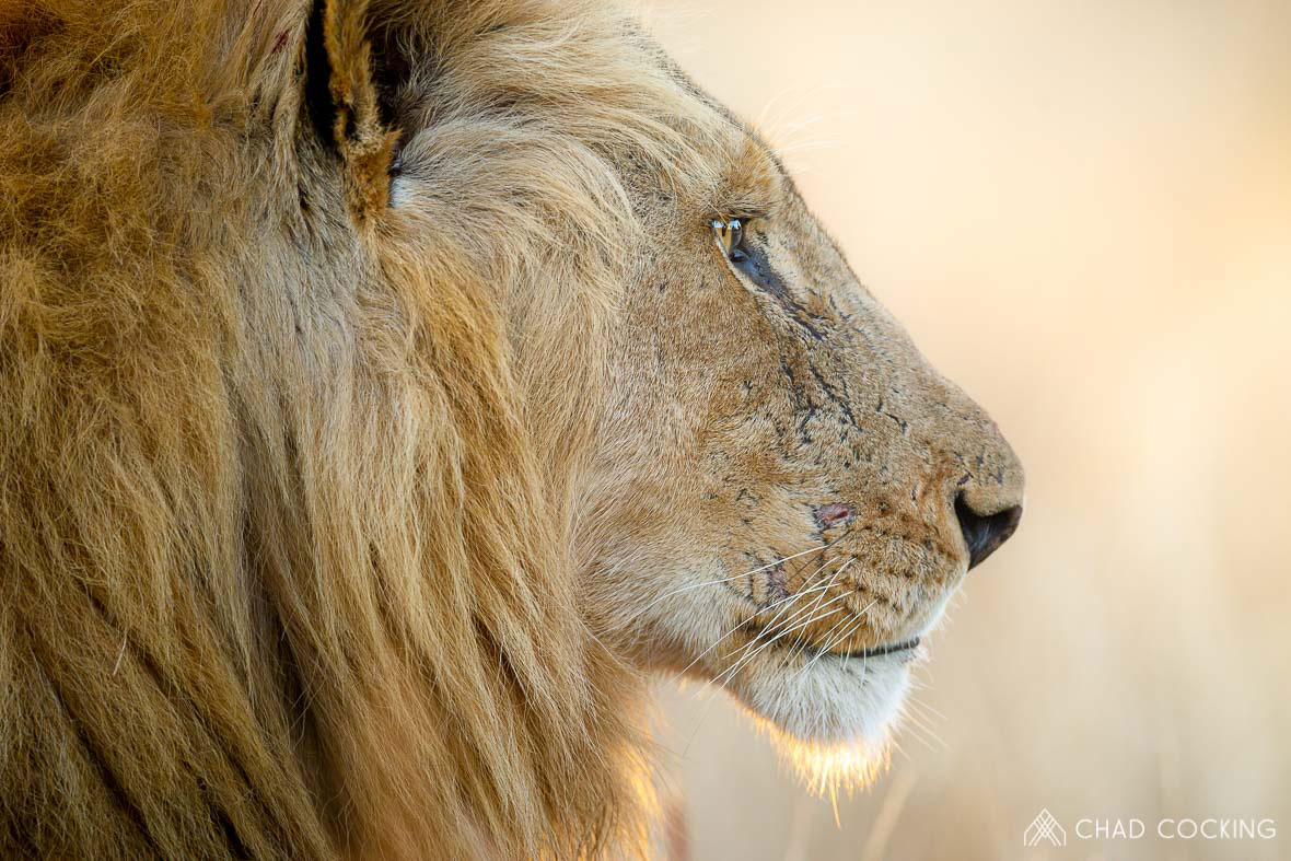 Tanda Tula - Nharhu male lion portrait in the Greater Kruger