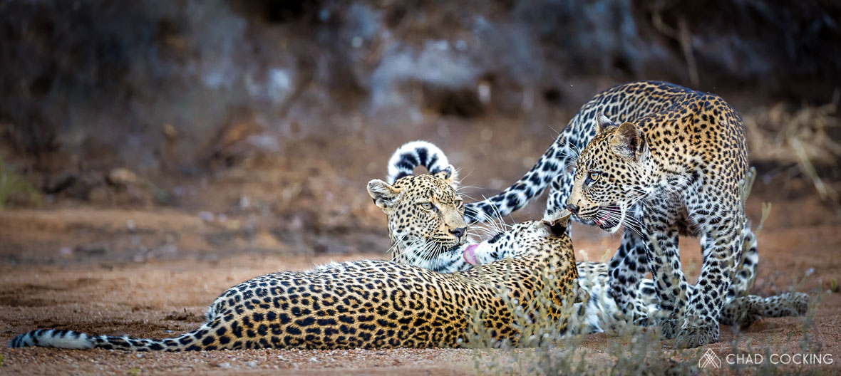 Tanda Tula - leopards on the best safari in Africa