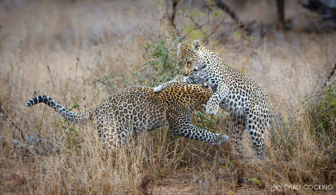 Tanda Tula - leopards playing together on safari, South Africa
