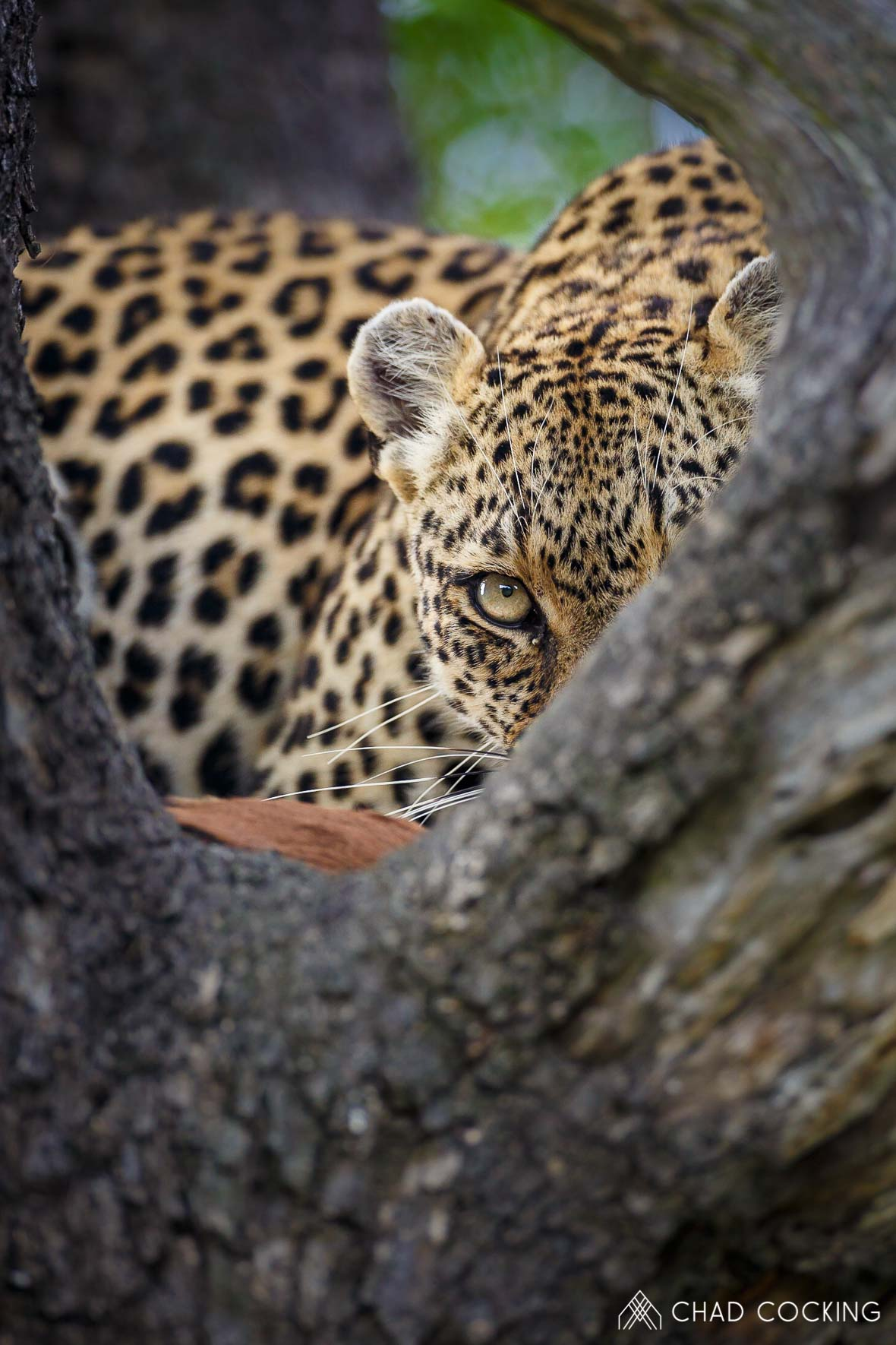 Tanda Tula - eye contact with a leopard on safari in South Africa