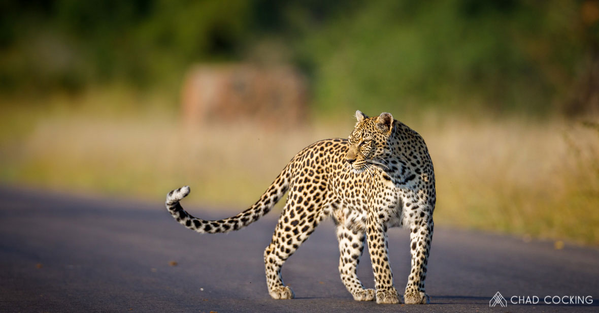 Tanda Tula - Nthombi leopardess in the Greater Kruger