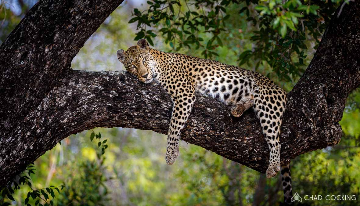 Tanda Tula - Nthombi leopardess resting on safari