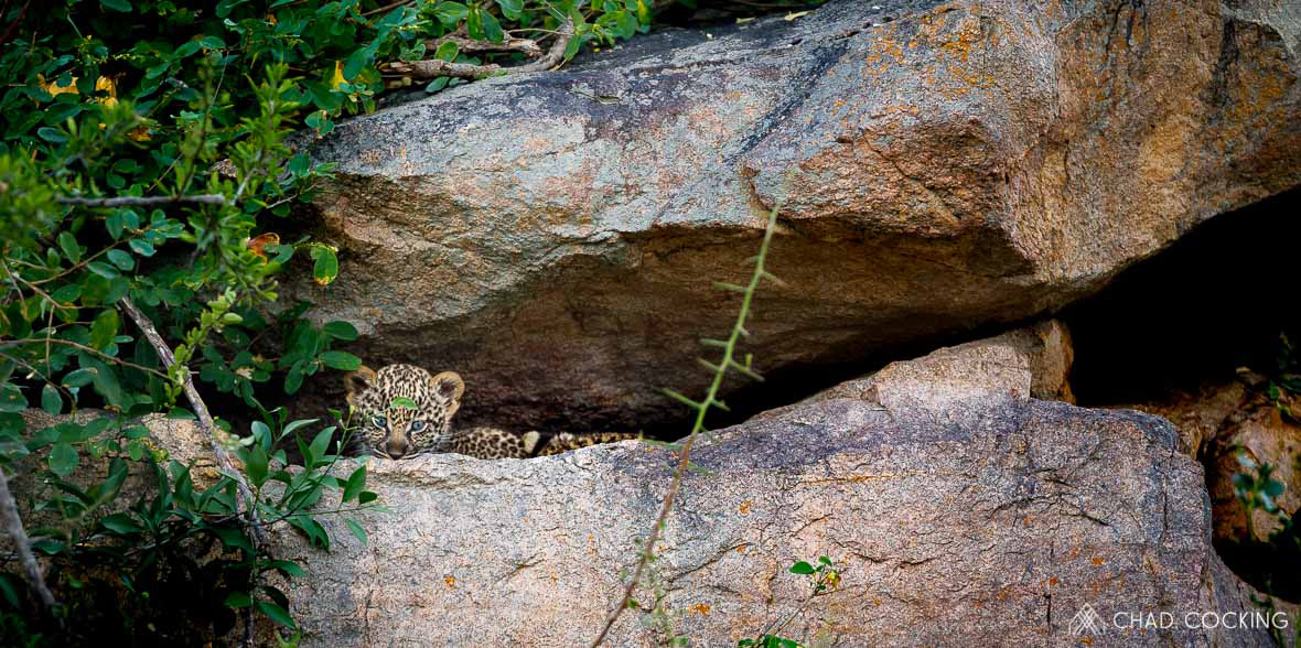 Tanda Tula - Leopard cubs on safari in the Greater Kruger