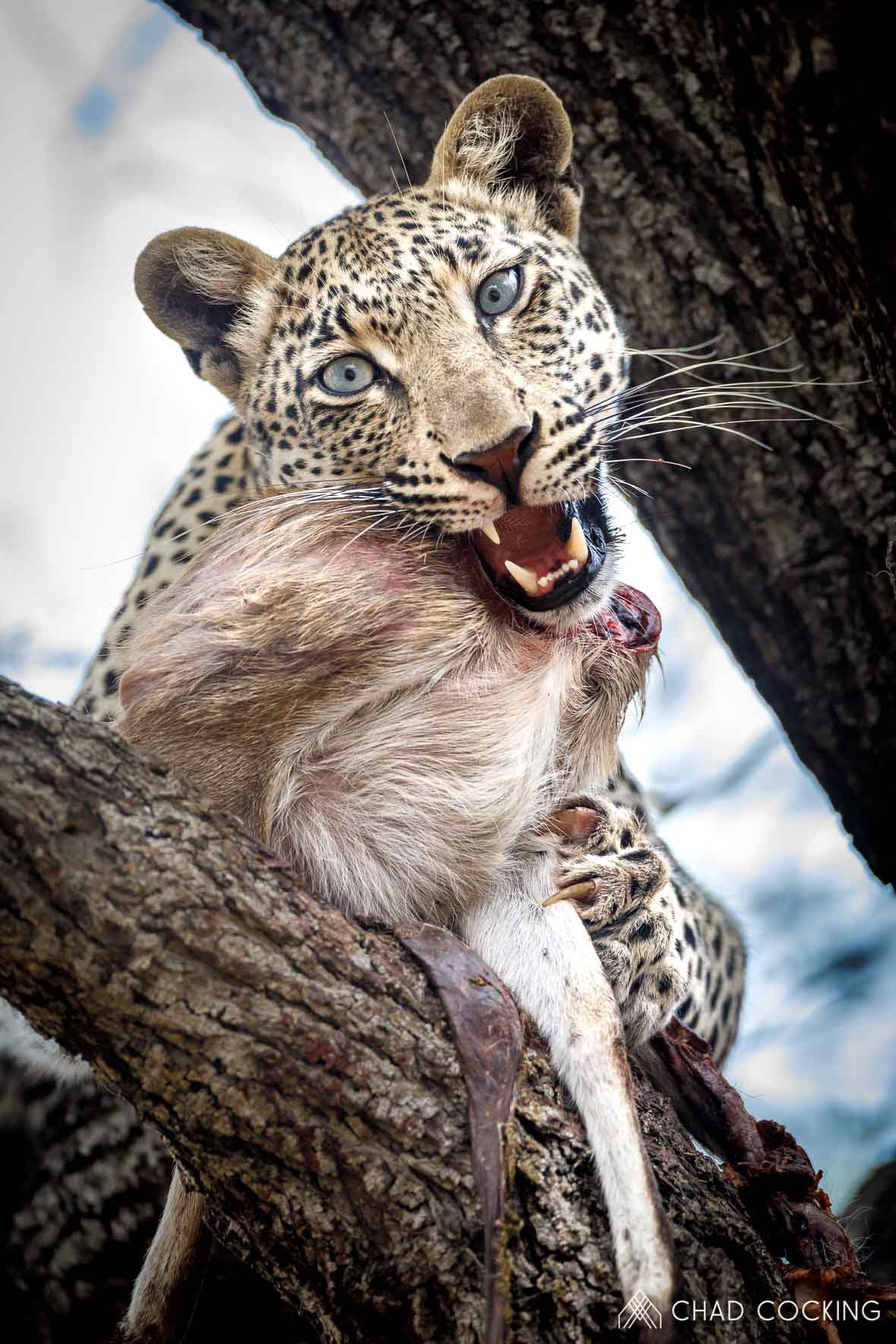 Tanda Tula - Nweti female leopard feeding on a duiker in the Greater Kruger, South Africa