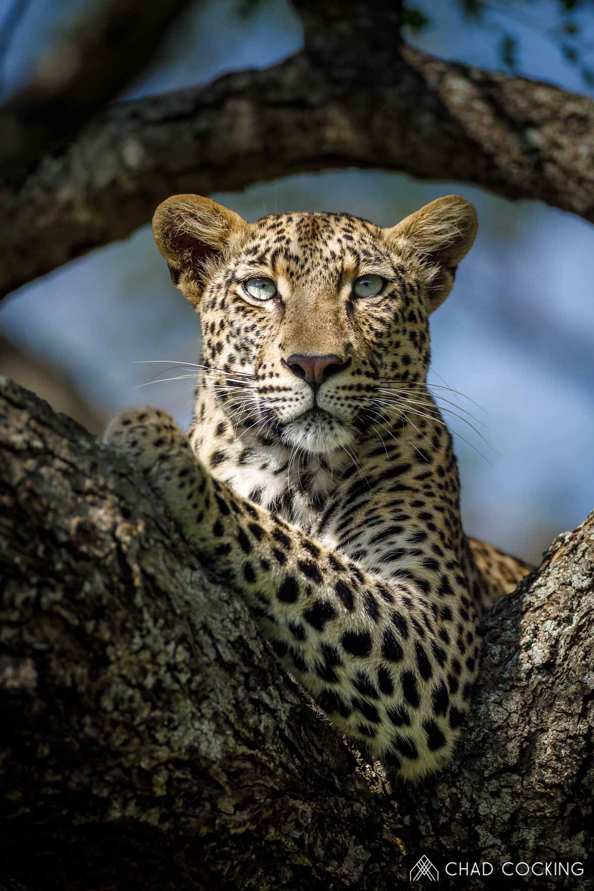 Tanda Tula - N'weti female perched in a tree in the Greater Kruger