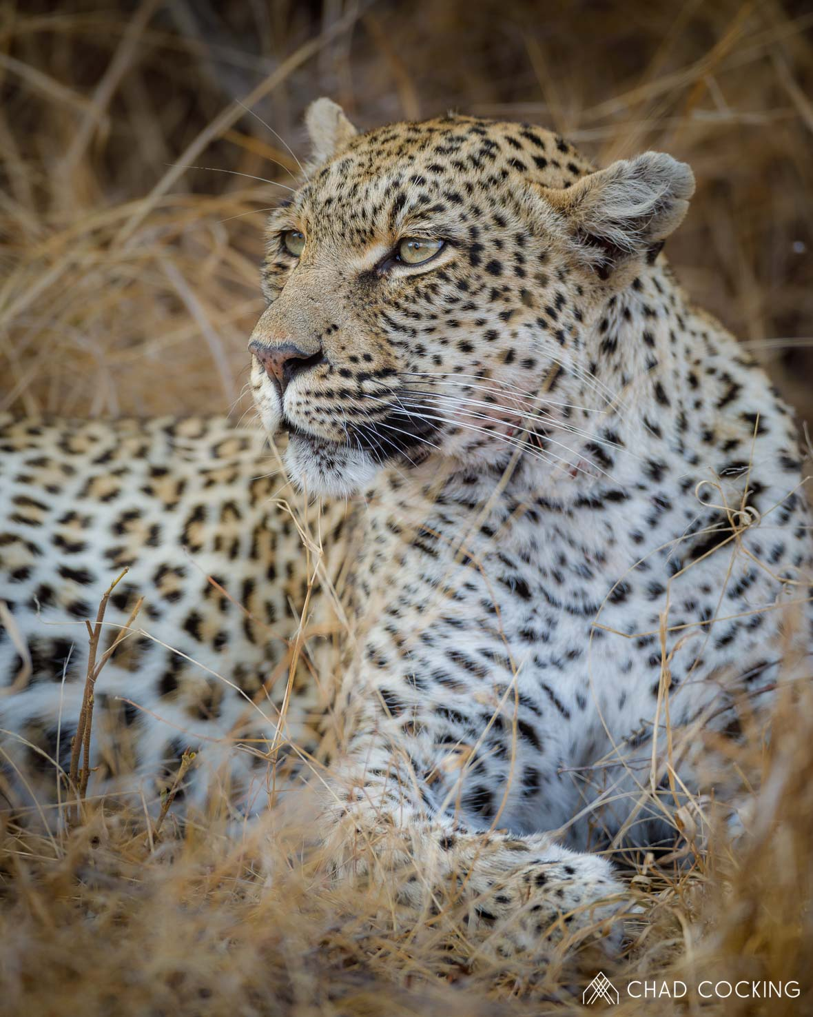Leopard at Tanda Tula in the Timbavati Game Reserve, part of the Greater Kruger National Park, South Africa - Photo credit: Chad Cocking