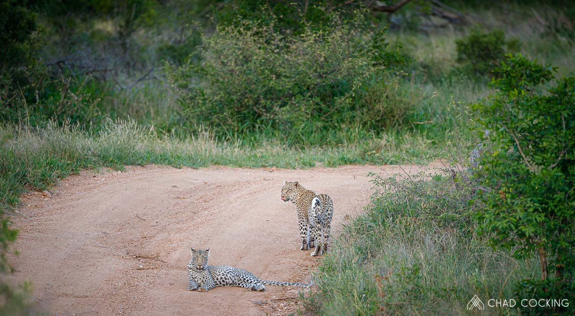 Tanda-Tula leopardess and her son, Timbavati