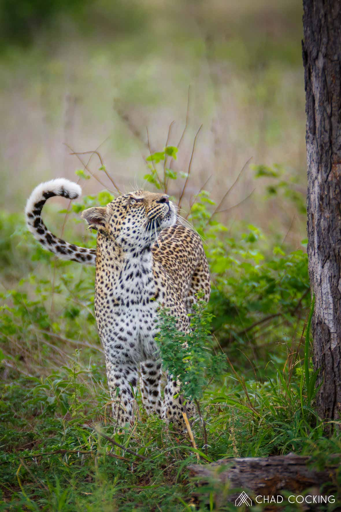 Tanda Tula - Nyeleti leopardess in the Timbavati