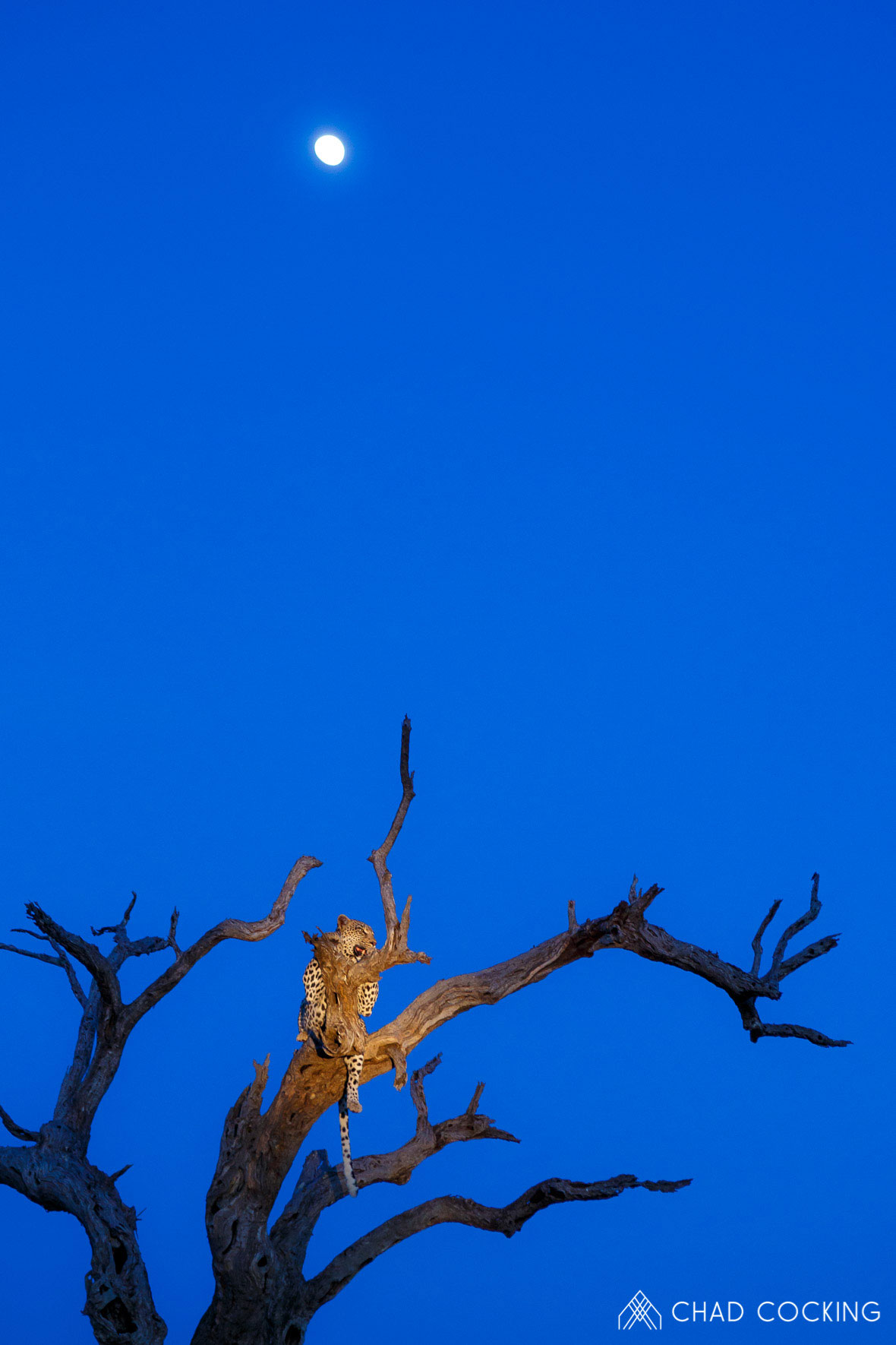 Tanda Tula - Nyeleti leopard under a waxing moon