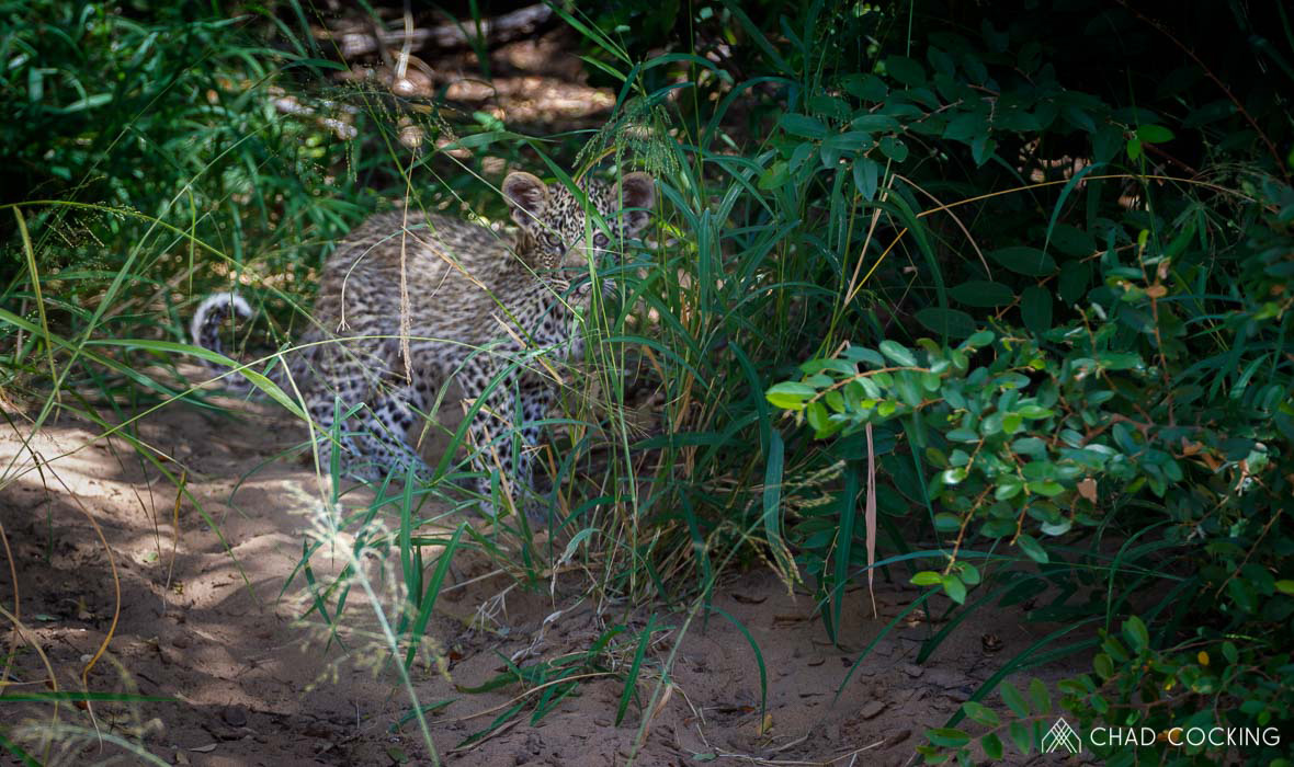 Tanda Tula - leopard cub in the Greater Kruger