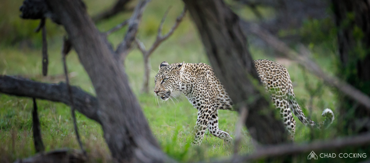Tanda-Tula young leopard in the Timbavati