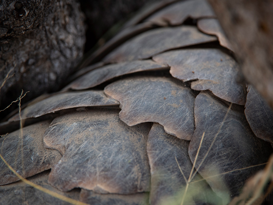 Tanda Tula - pangolin - an endangered species