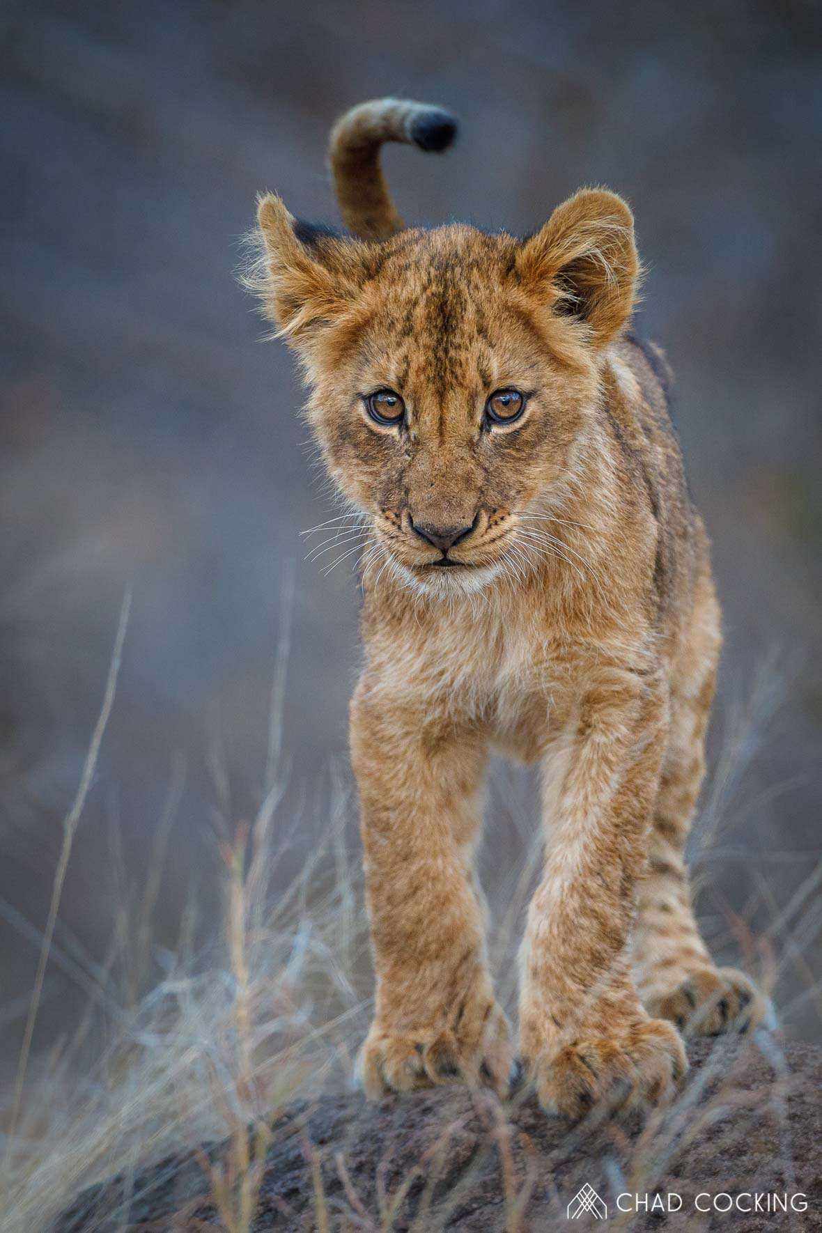 Photo credit: Chad Cocking - Cute little baby lion cub balancing on a termite mound at Tanda Tula in the Timbavati Game Reserve, South Africa.