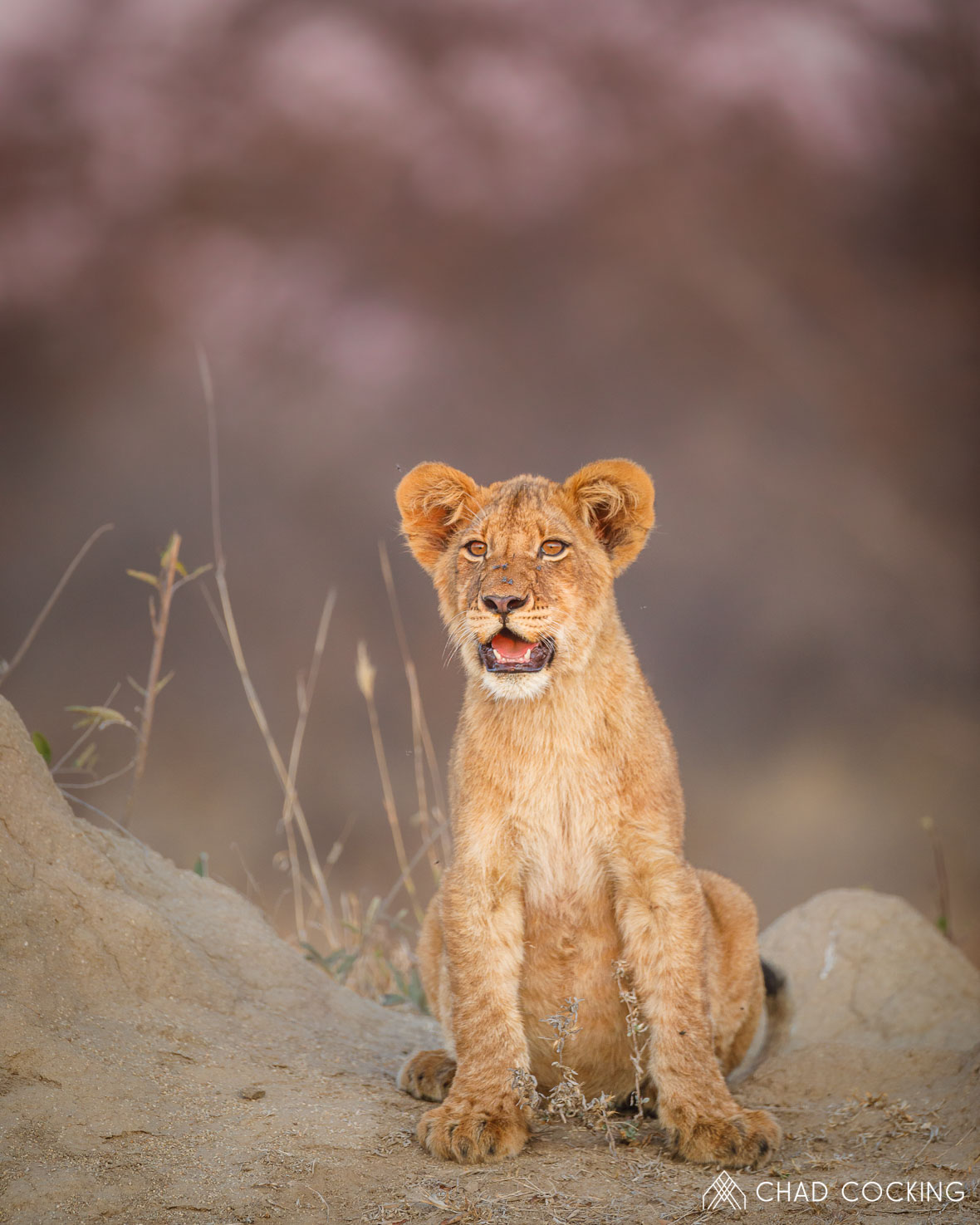 Young lion cub at Tanda Tula in the Timbavati Game Reserve, part of the Greater Kruger National Park, South Africa - Photo credit: Chad Cocking