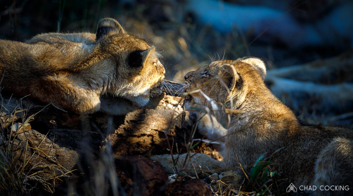 Tanda Tula - River Pride lion cubs in the Greater Kruger, South Africaq
