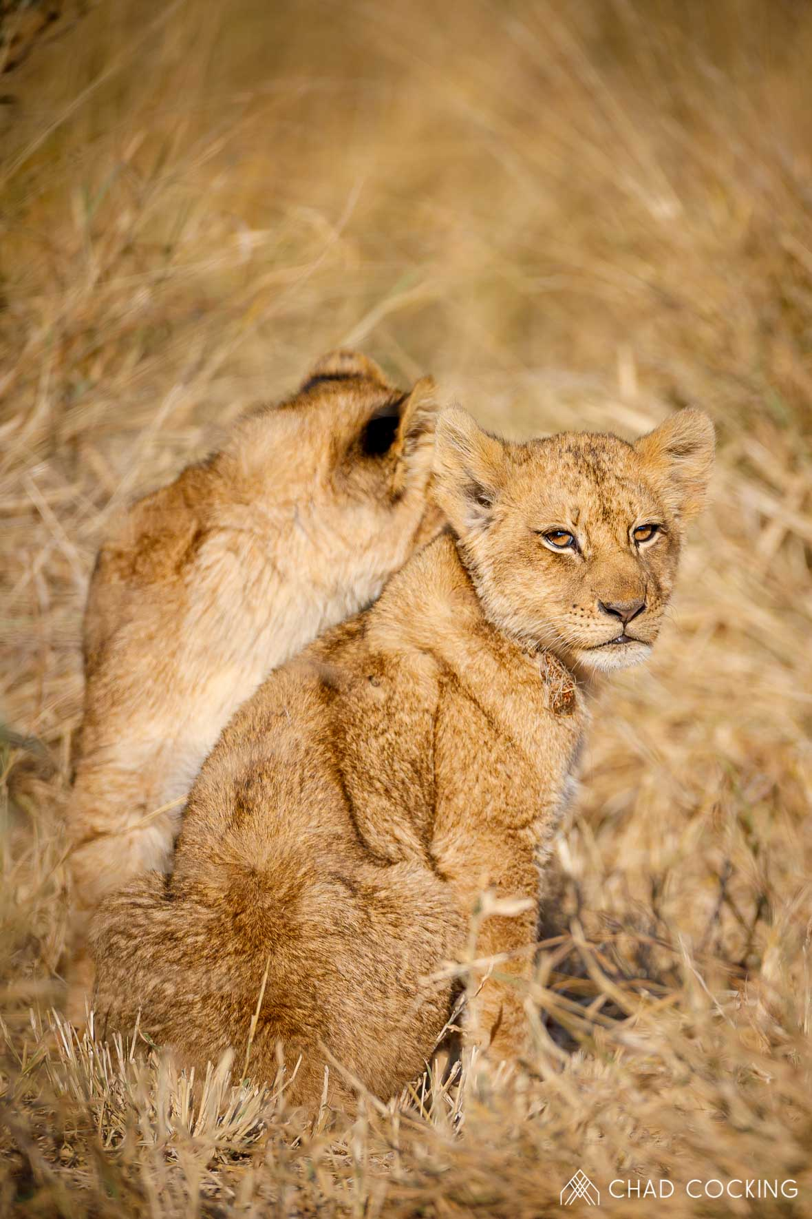 Tanda Tula - River Pride lion cubs on safari in the Timbavati