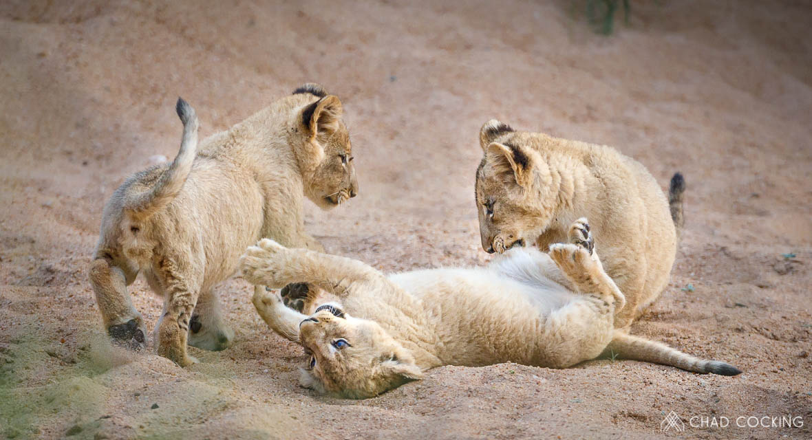 Tanda Tula - lion cubs playing together in the Greater Kruger