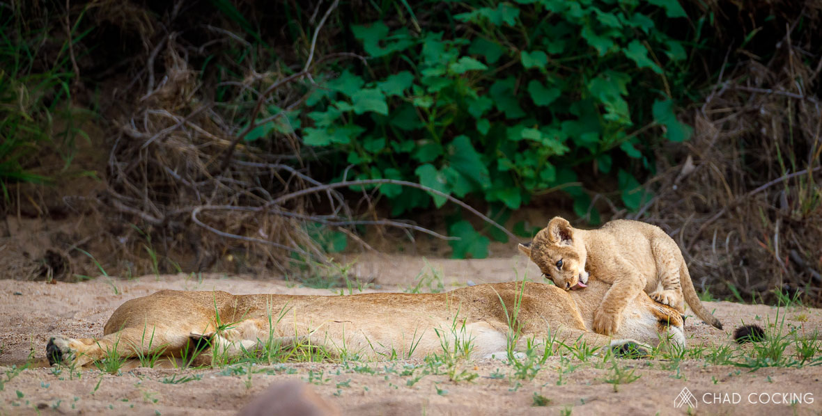 Tanda Tula - River Pride lion cub in the Timbavati, South Africa