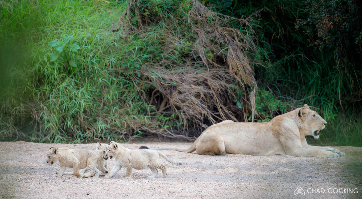 Tanda Tula - Lioness and her cubs in the Greater Kruger, South Africa