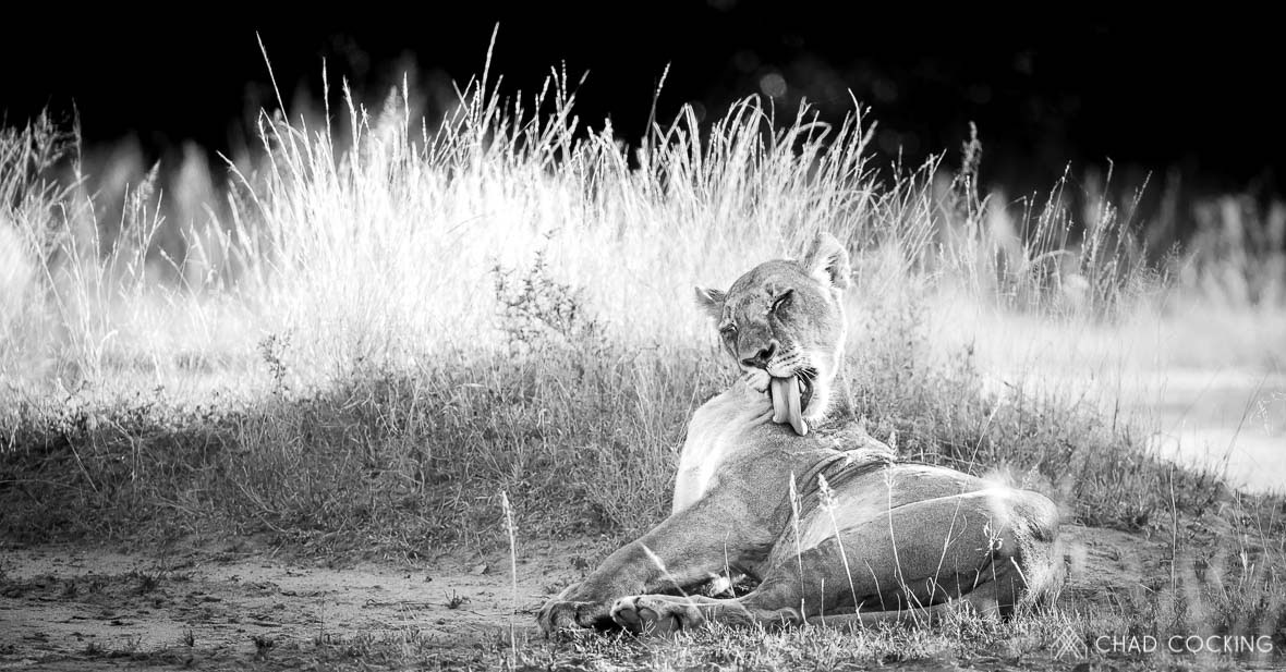 Tanda Tula - River Pride lioness grooming in the Greater Kruger