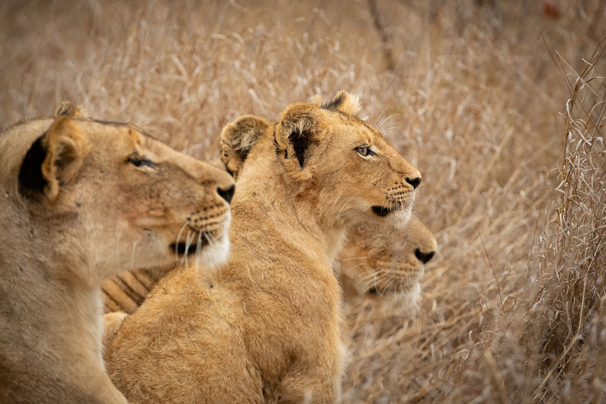 Tanda Tula - River Pride cub and lionesses in the Greater Kruger