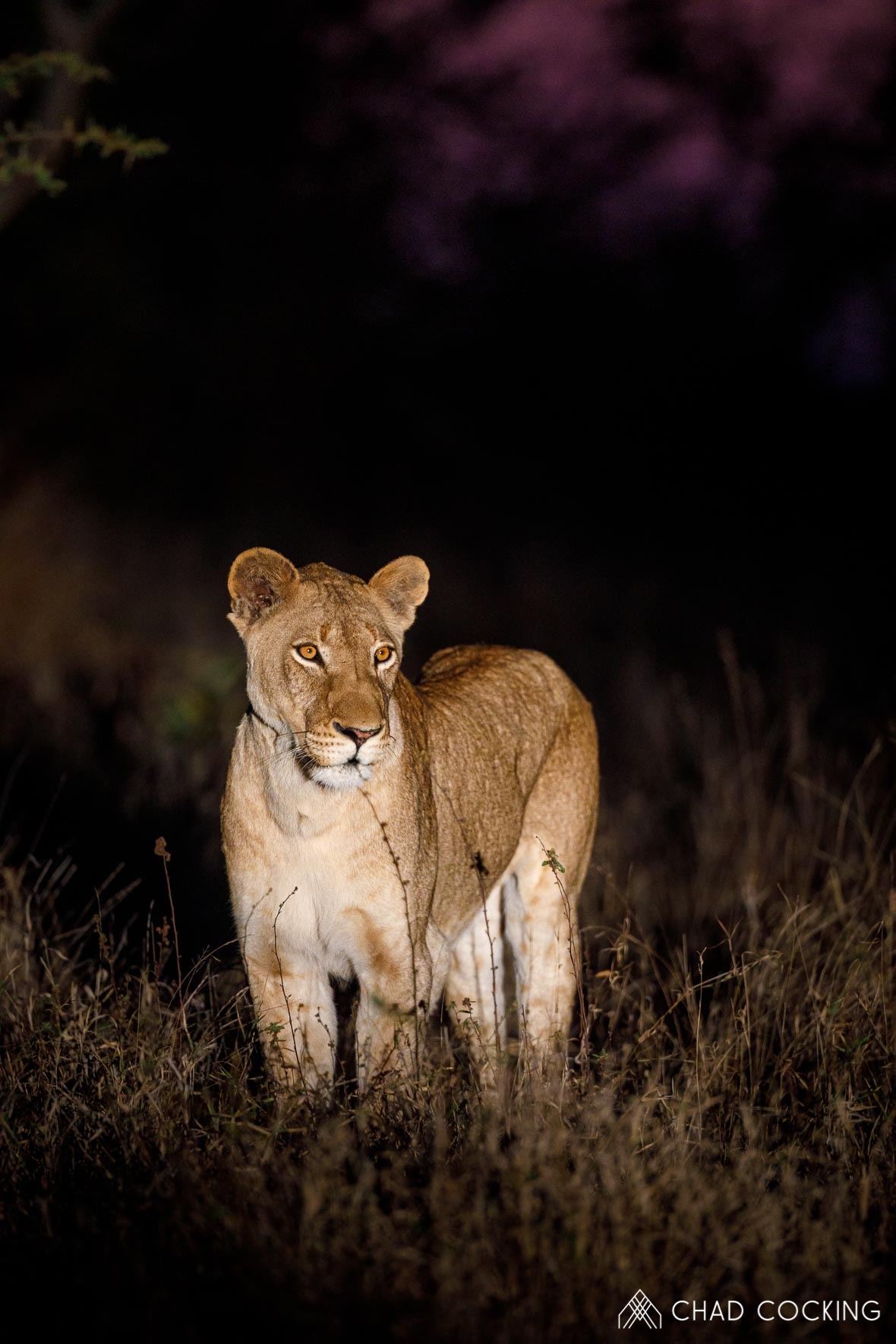 Photo credit: Chad Cocking - Female Lioness at night at Tanda Tula in the Timbavati Game Reserve, South Africa.