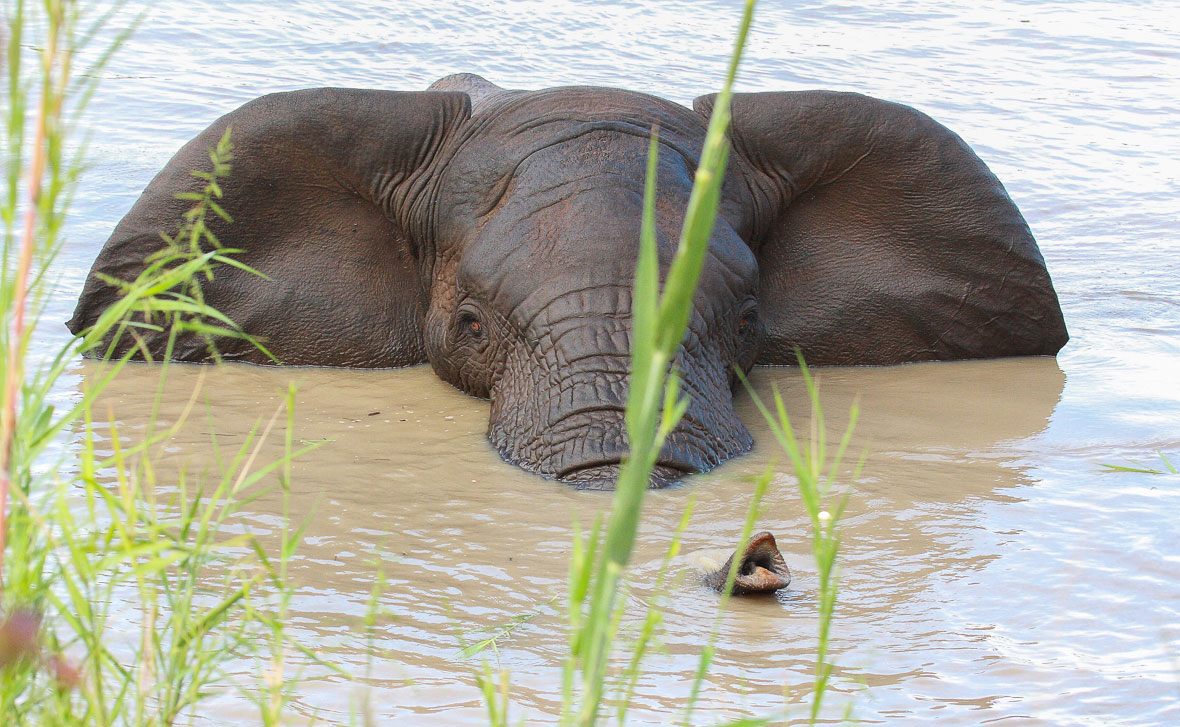 Tanda Tula - swimming elephants on safari in the Timbavati