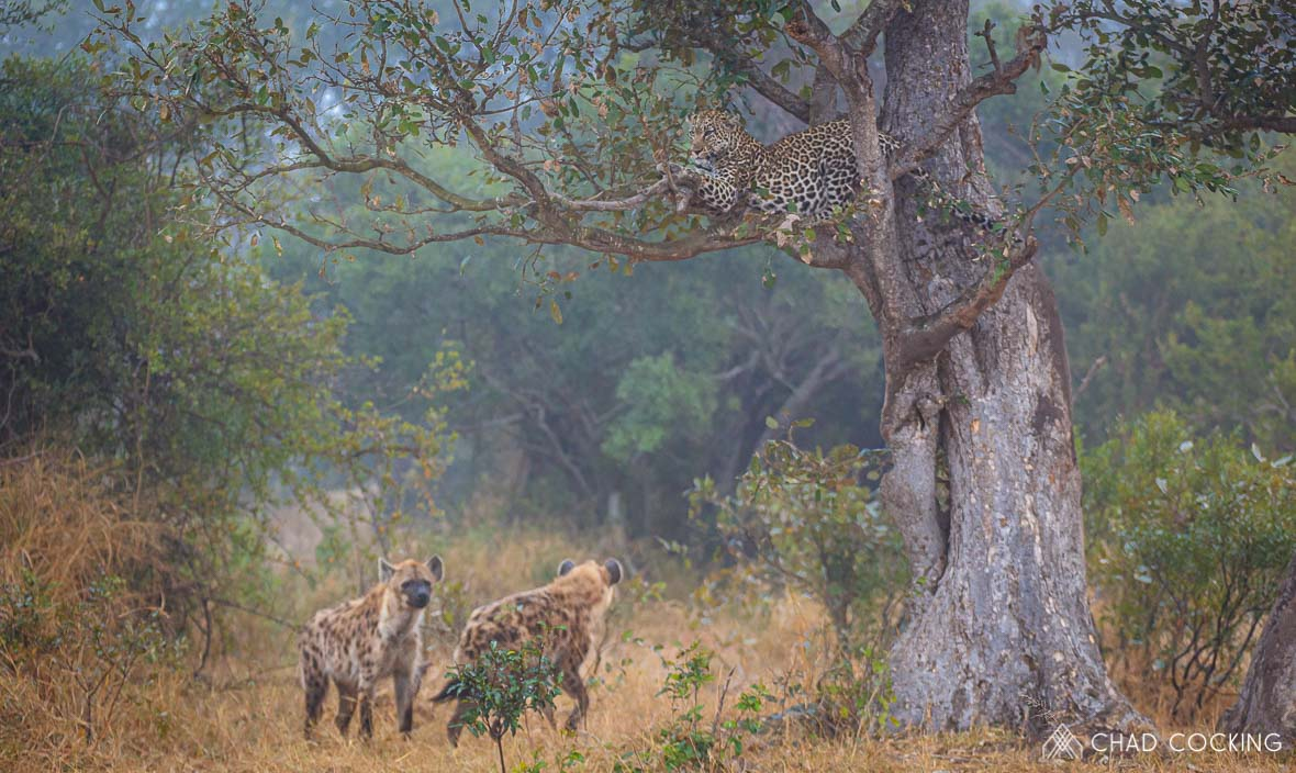 Photo credit: Chad Cocking | Hyena's harassing a leopard with their kill up a treeat Tanda Tula in the Timbavati Game Reserve, South Africa.