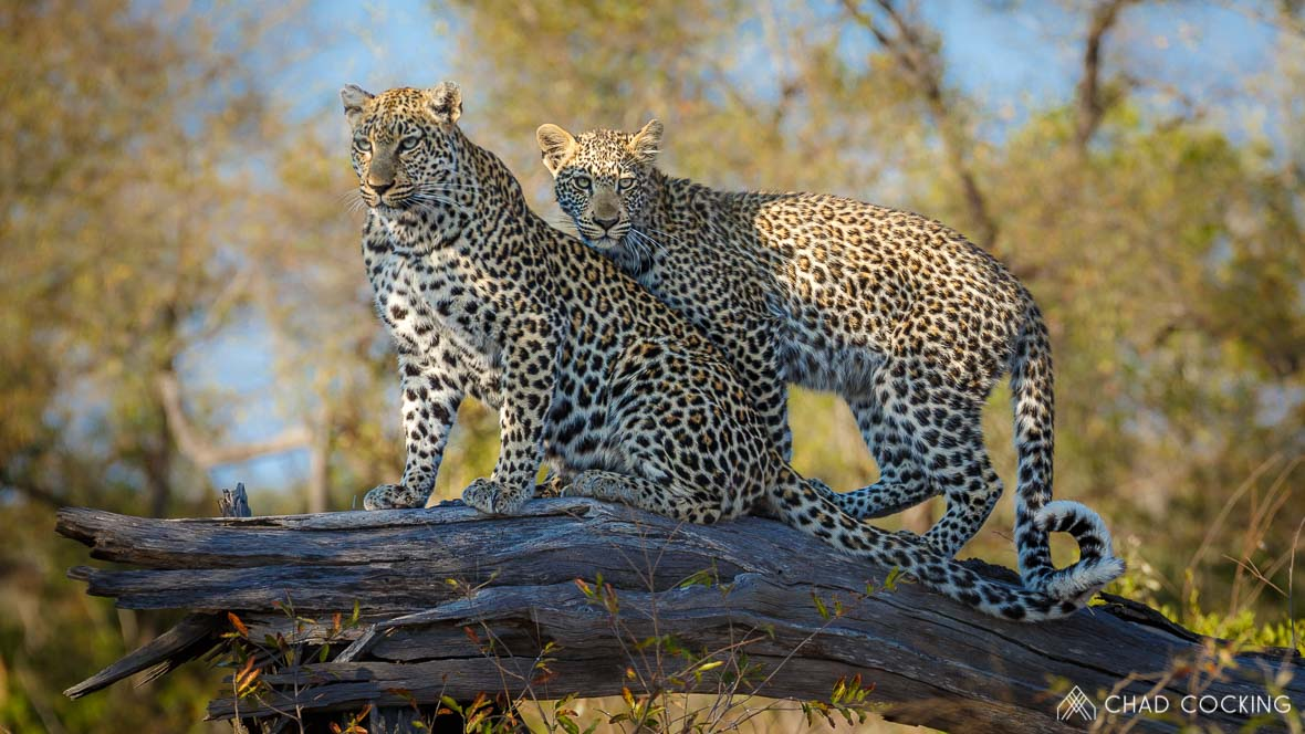 Photo credit: Chad Cocking - Two leopards on a tree stump at Tanda Tula in the Timbavati Game Reserve, South Africa.