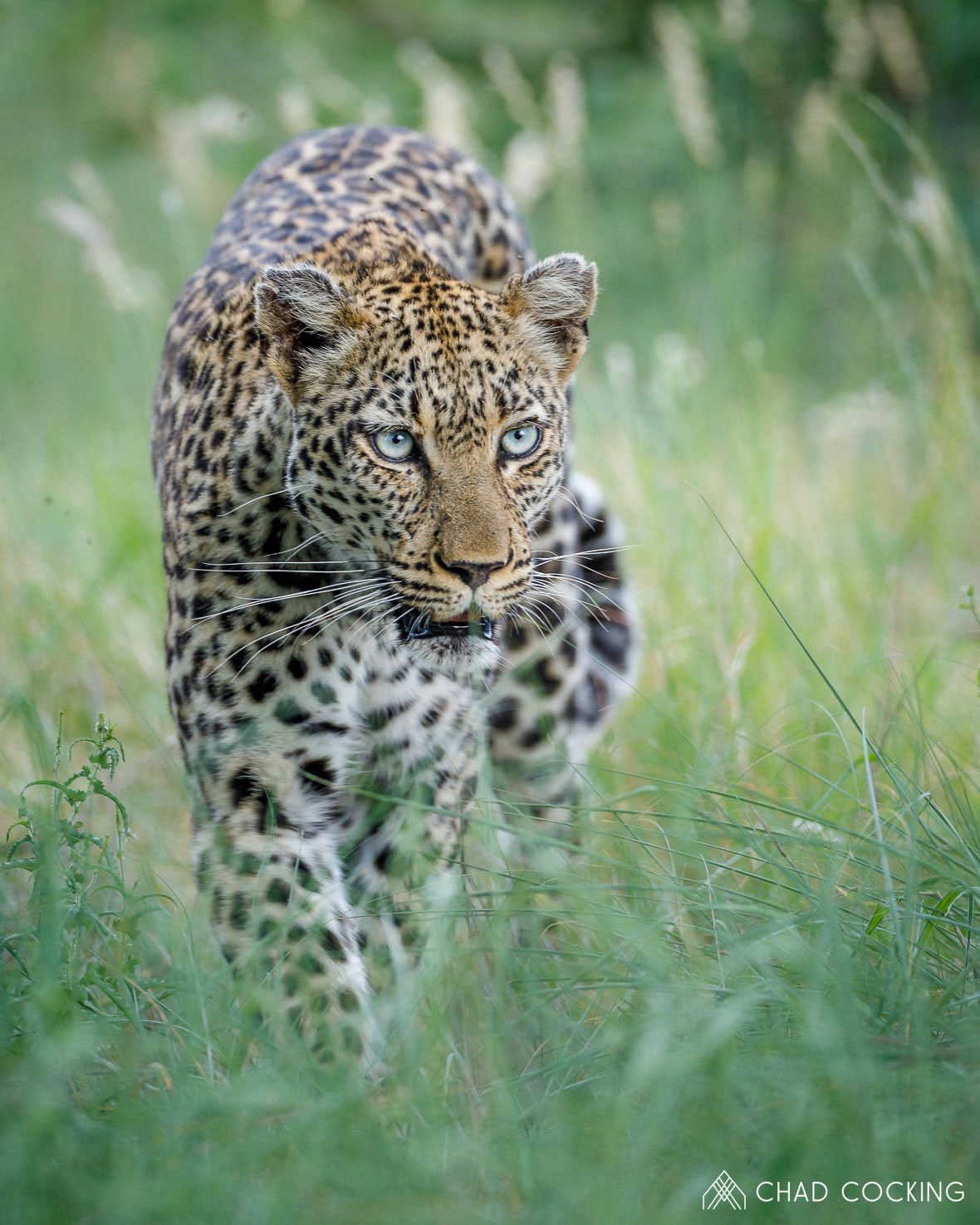 Tanda Tula - Thumbela leopard in the Greater Kruger