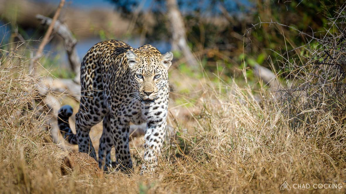 Photo credit: Chad Cocking | A Leopard walking through the grass at Tanda Tula in the Timbavati Game Reserve, South Africa.