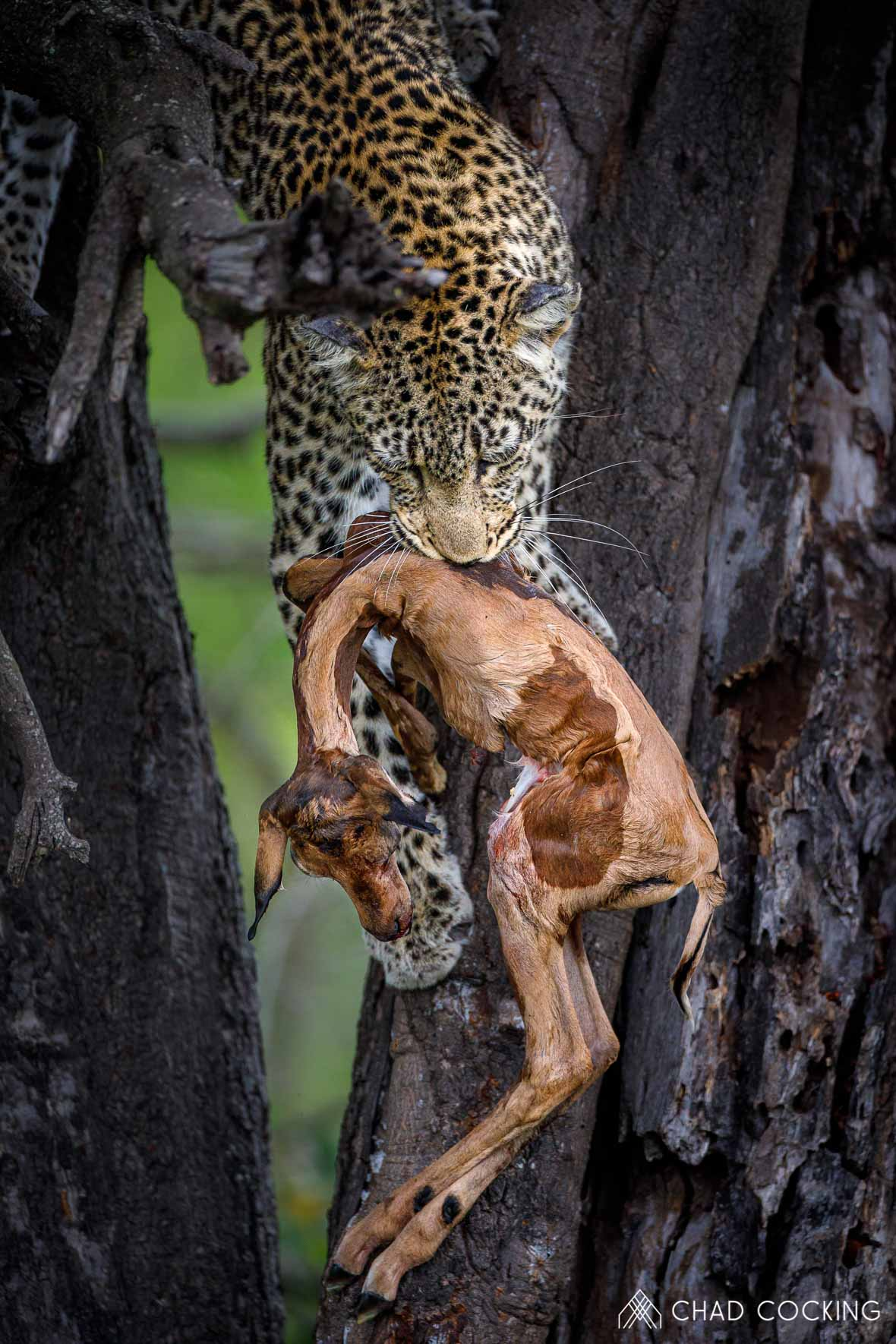 Tanda Tula - Leopard with baby impala kill