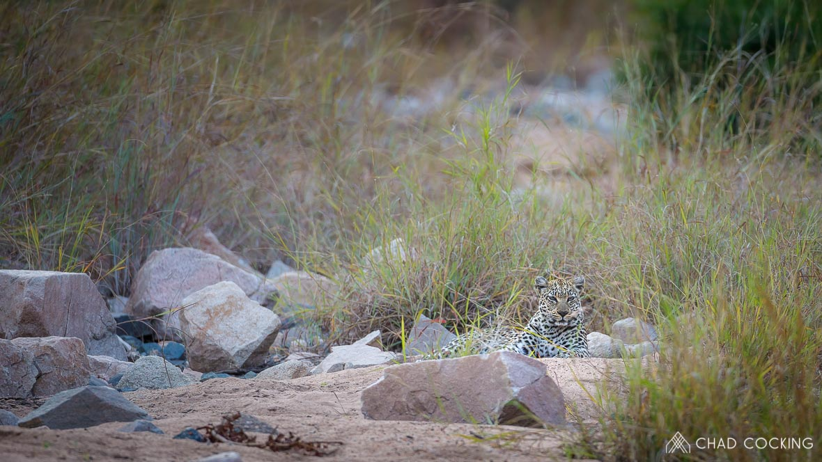 Photo credit: Chad Cocking - Leopard at Tanda Tula in the Timbavati, South Africa