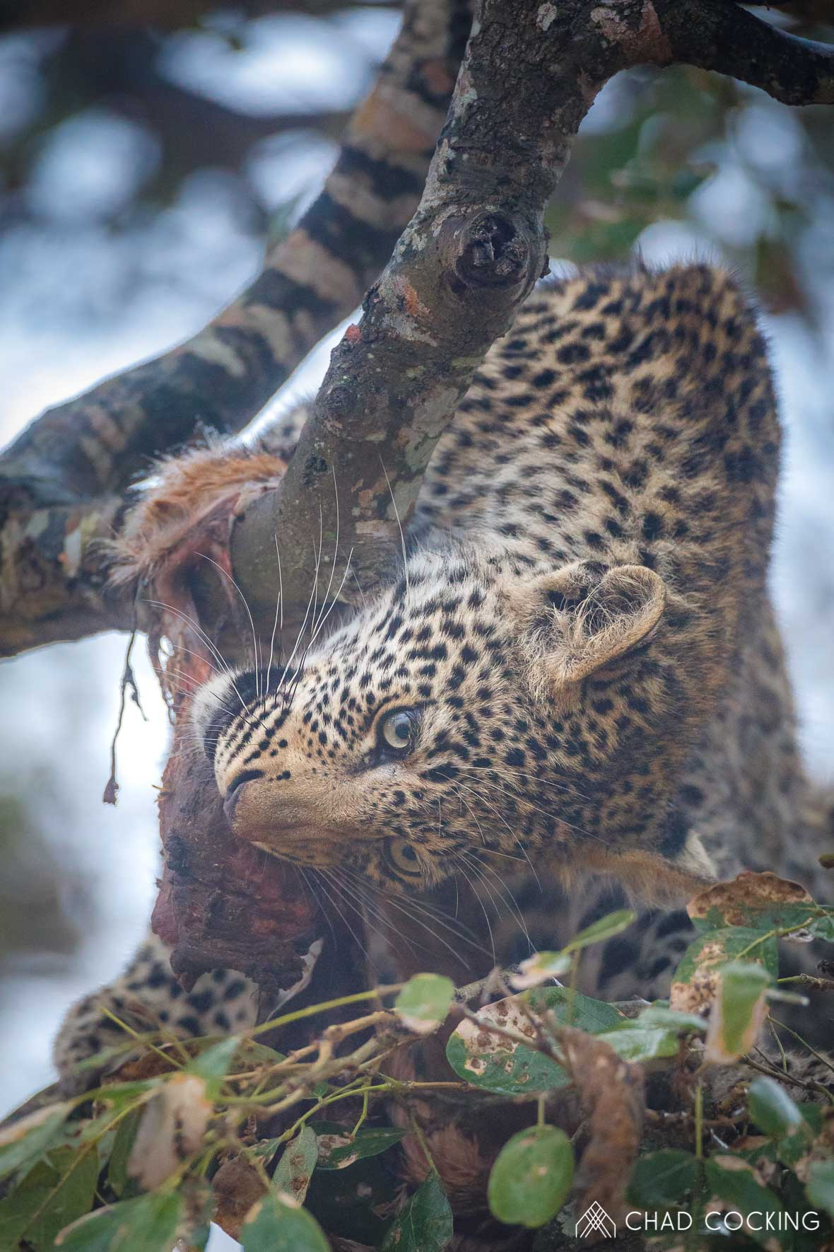 Photo credit: Chad Cocking | A young Leopard feeding on a kill up in a tree at Tanda Tula in the Timbavati Game Reserve, South Africa.