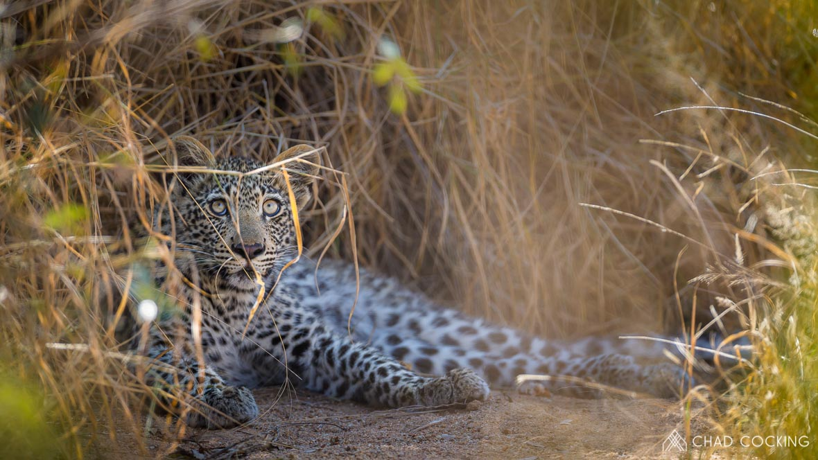 Photo credit: Chad Cocking | A young Leopard resting in the grass at Tanda Tula in the Timbavati Game Reserve, South Africa.