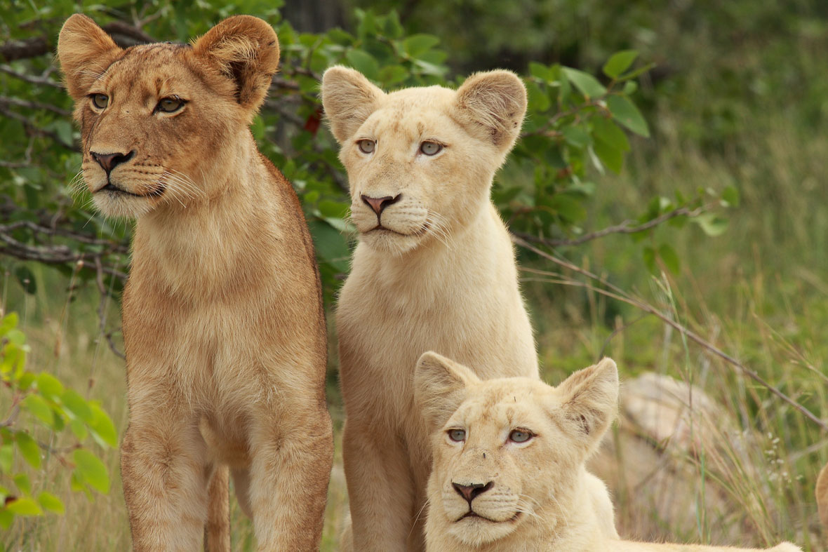 Tanda Tula - White lions spotted on the best safari in South Africa