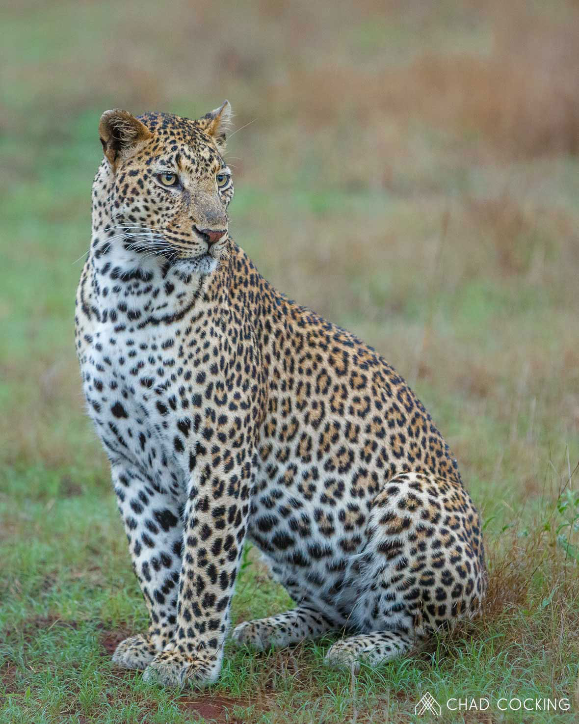 Tanda Tula - Xidulu male leopard in the rain