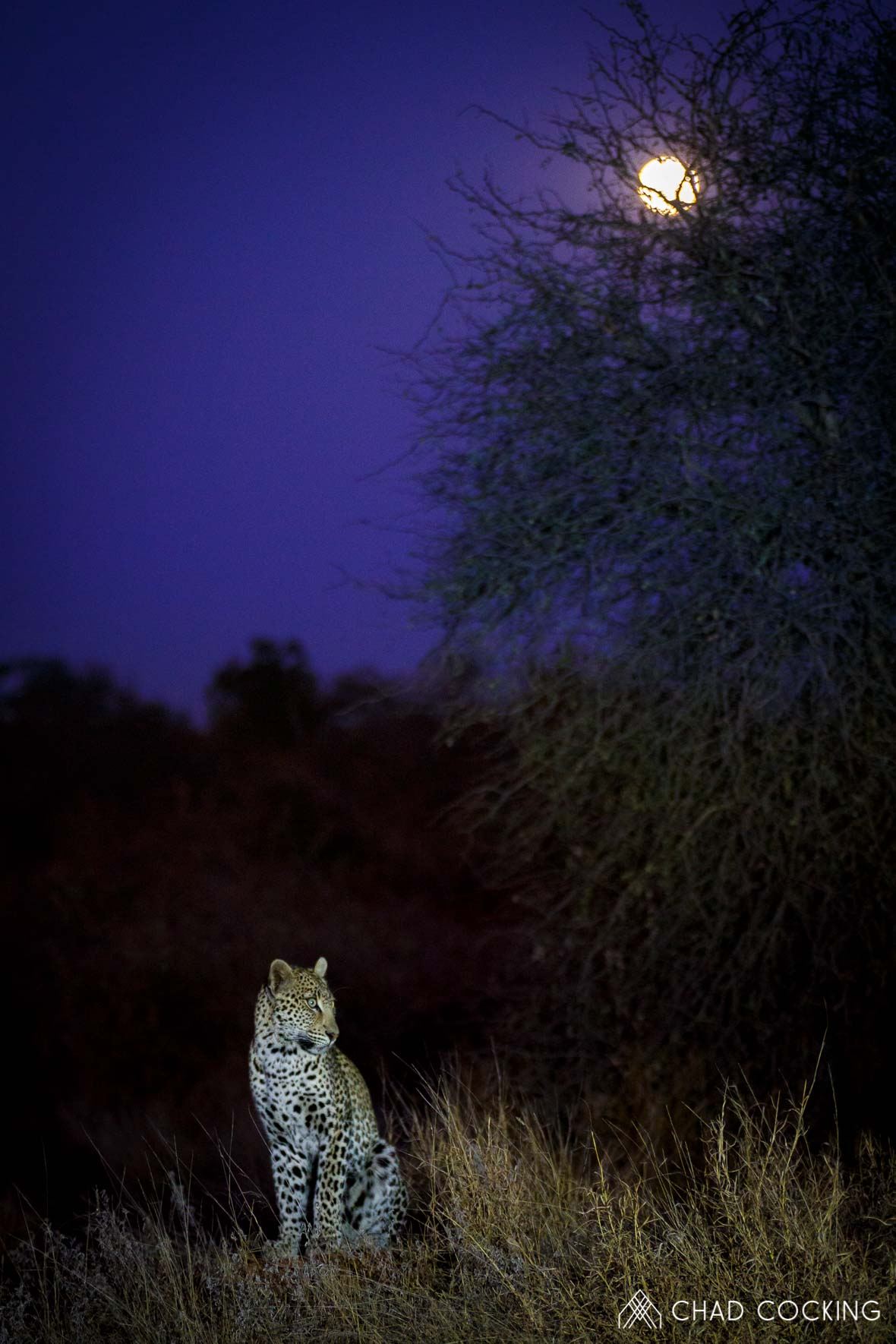 Photo credit: Chad Cocking | Leopard under the moon at Tanda Tula in the Timbavati Game Reserve, South Africa.