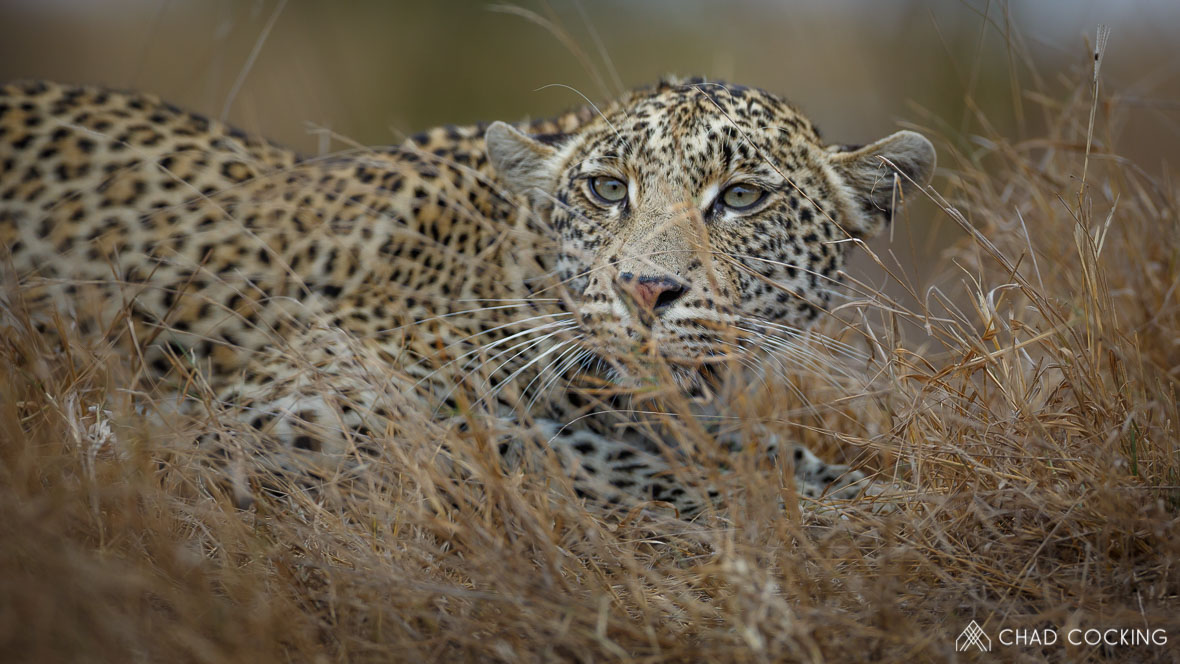 Photo: Chad Cocking at Tanda Tula Safari Camp in the Timbavati - Male Leopard in the grass looking very cross