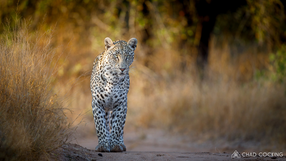 Photo credit: Chad Cocking - Leopard at Tanda Tula in the Timbavati Game Reserve, South Africa.