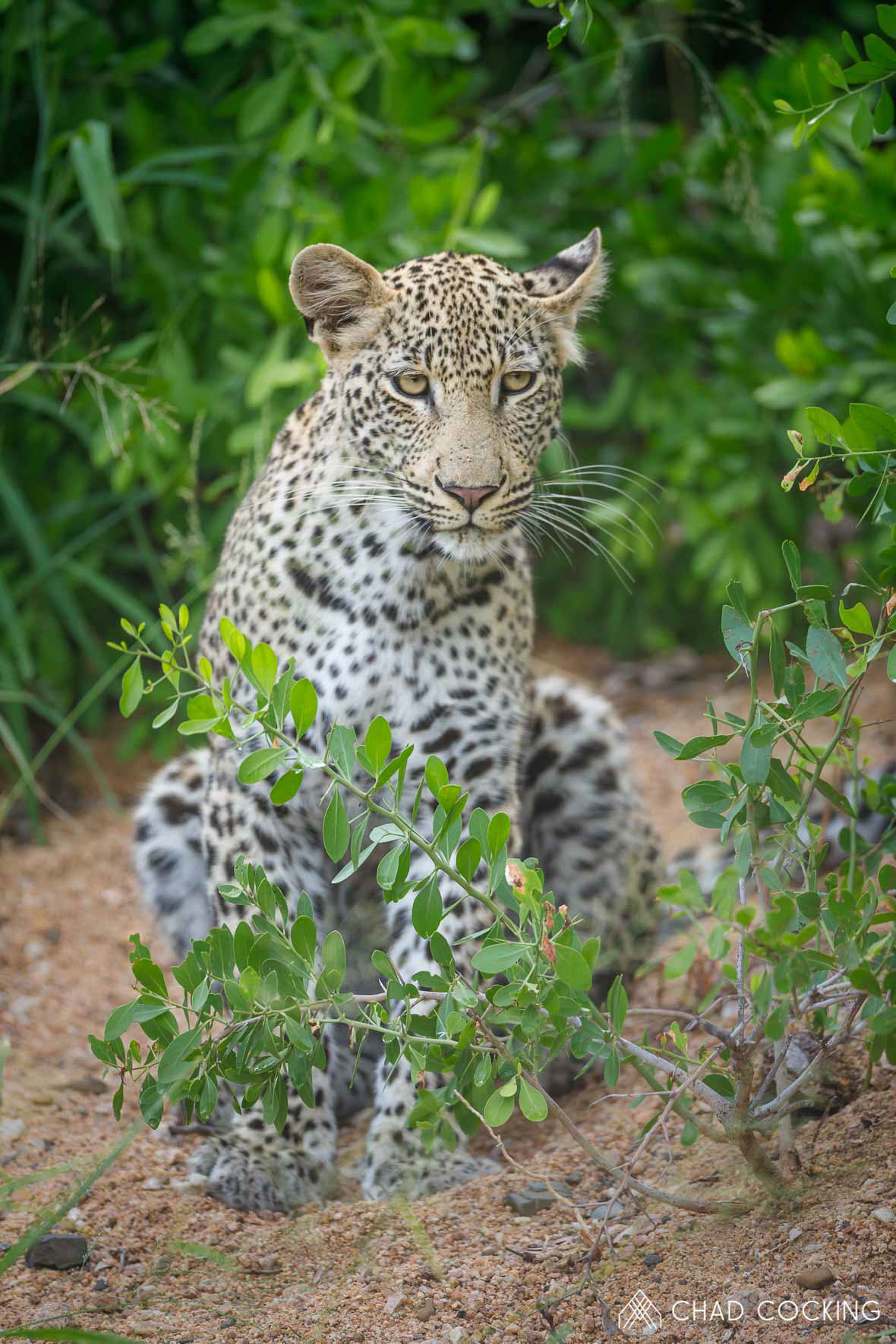 Tanda Tula - Xisiwana male leopard in the Greater Kruger