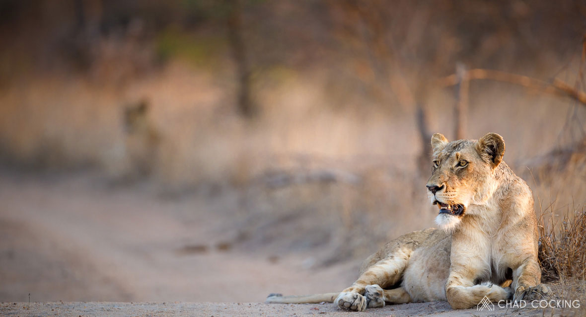 Tanda Tula - Zebenine lioness watching a warthog in the Greater Kruger, South Africa