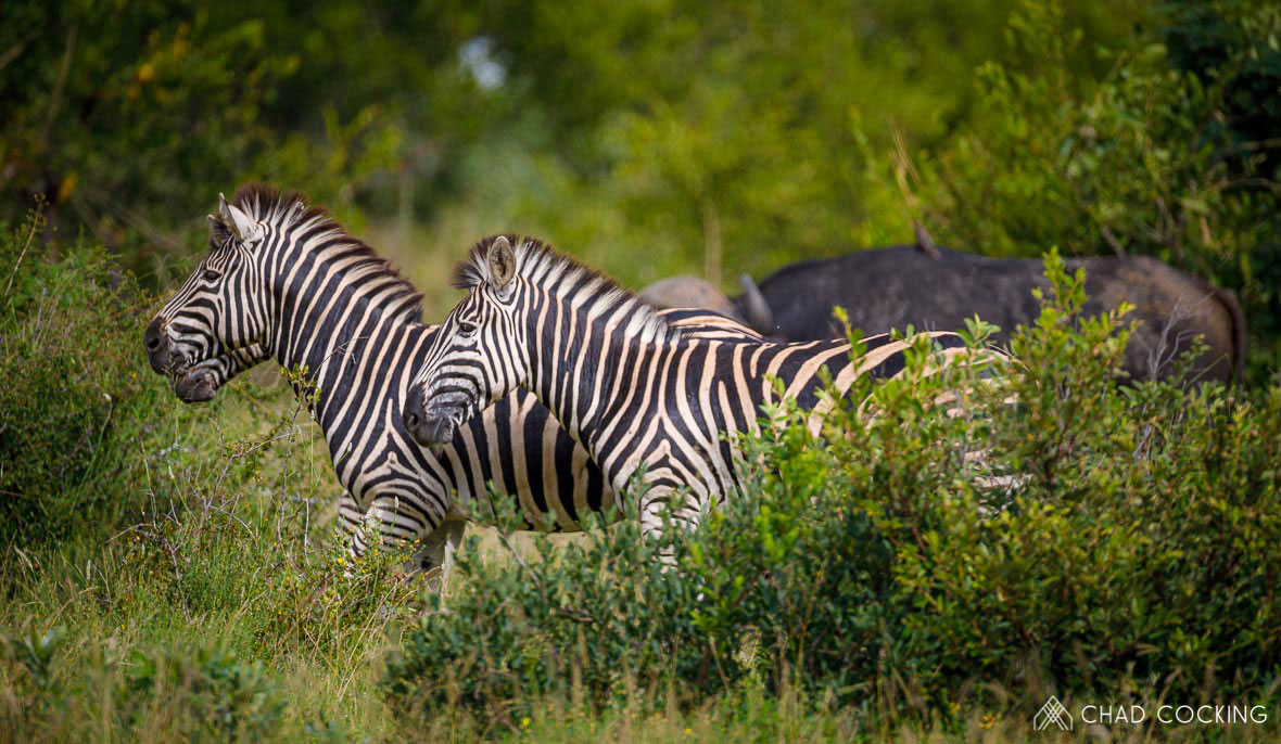 Tanda Tula - Zebra herd and buffalo in the Greater Kruger, South Africa