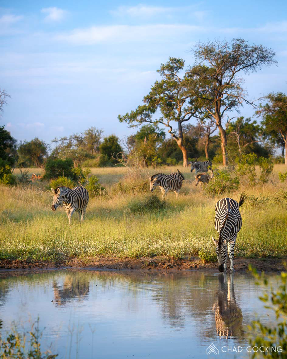 Tanda Tula - zebra herd drinking in the Greater Kruger, South Africa