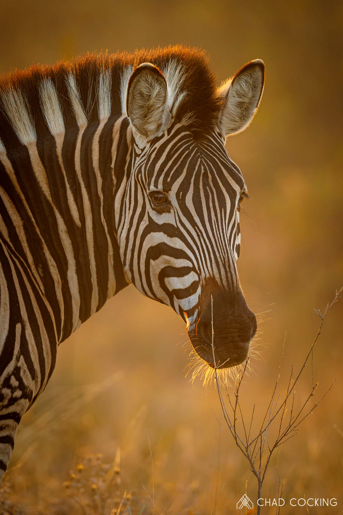 Photo credit: Chad Cocking | Portrait of a Zebra at Tanda Tula in the Timbavati Game Reserve, South Africa.